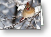 Cardinal Greeting Cards - Female Northern Cardinal 4300 Greeting Card by Michael Peychich