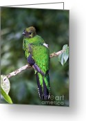 Tail Feathers Greeting Cards - Female Quetzal Greeting Card by Heiko Koehrer-Wagner