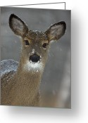 Female Animal Greeting Cards - Female White-tailed Deer, Odocoileus Greeting Card by John Cancalosi