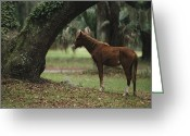 Wild Horses Greeting Cards - Feral Horse Munching Spanish Moss Greeting Card by Raymond Gehman