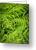 Ferns Greeting Cards - Fern Greeting Card by Elena Elisseeva