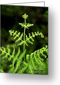Woodland Plant Greeting Cards - Fern leaf Greeting Card by Elena Elisseeva