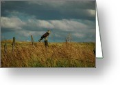 Morph Photo Greeting Cards - Ferruginous Hawk Greeting Card by Daniel Hebard