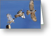 Three Animals Greeting Cards - Ferruginous Hawk In Flight Greeting Card by Utah-based Photographer Ryan Houston