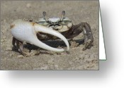 Fiddler Crab Greeting Cards - Fiddle Me This Greeting Card by Ginger Wemett