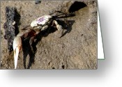 Fiddler Crab Greeting Cards - Fiddler Crab Greeting Card by Bruce W Krucke