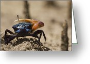 Fiddler Crab Greeting Cards - Fiddler Crab Living In A Sandy Tidal Greeting Card by Tim Laman