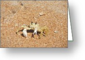 Fiddler Crab Greeting Cards - Fiddler Crab Greeting Card by Renata Mayes