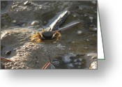 Fiddler Crab Greeting Cards - Fiddler Crab Greeting Card by Sven Migot