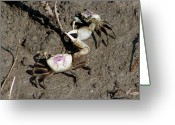 Fiddler Crab Greeting Cards - Fiddler Crabs Fighting 2 Greeting Card by Bruce W Krucke