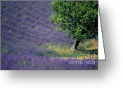 Perfumery Greeting Cards - Field of lavender Greeting Card by Bernard Jaubert