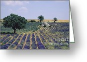 Shed Photo Greeting Cards - Field of lavender. Sault. Vaucluse Greeting Card by Bernard Jaubert