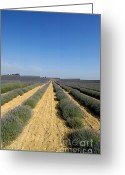 Perfumery Greeting Cards - Field of lavender. Valensole Greeting Card by Bernard Jaubert
