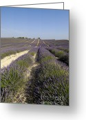 Rural Landscapes Greeting Cards - Field of lavender. Valensole. Provence Greeting Card by Bernard Jaubert