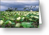 Lotus Seed Pod Greeting Cards - Field of Lotus Flowers Greeting Card by Yali Shi