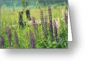 Green Day Greeting Cards - Field of lupin flowers  Greeting Card by Sandra Cunningham