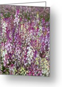 Pink And Purple Greeting Cards - Field of Multi-Colored Flowers Greeting Card by Carol Groenen