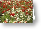 Out Of Frame Greeting Cards - Field of poppies and daisies in Limagne  Auvergne. France Greeting Card by Bernard Jaubert