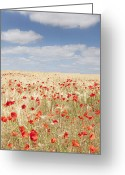 Caen Greeting Cards - Field Of Poppies Greeting Card by Grant Faint