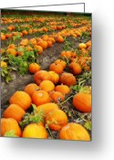 Orange And Green Greeting Cards - Field of Pumpkins Card Greeting Card by Carol Groenen