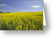 Rapeseed Greeting Cards - Field of Rapeseeds Greeting Card by Melanie Viola