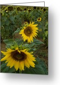 European Union Greeting Cards - Field Of Sunflowers In Tuscany Greeting Card by Todd Gipstein