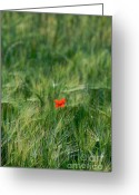 Blurry Greeting Cards - Field of wheat with a solitary poppy. Greeting Card by Bernard Jaubert
