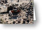 Fiddler Crab Greeting Cards - Fierce Fiddler Greeting Card by Al Powell Photography USA