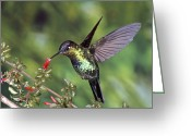 Fuchsia Greeting Cards - Fiery-throated Hummingbird Panterpe Greeting Card by Michael & Patricia Fogden