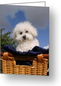 Bichon Greeting Cards - Fifi says Hi Greeting Card by Michael Ledray