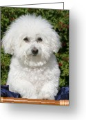 Bichon Greeting Cards - Fifi the Bichon  Greeting Card by Michael Ledray