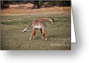 Safari Park Greeting Cards - Fighting Giraffe Greeting Card by Gualtiero Boffi