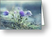 Pasque Flower Greeting Cards - Finally Spring Greeting Card by Priska Wettstein