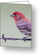 House Finch Greeting Cards - Finch On Fence Greeting Card by Robert Frederick