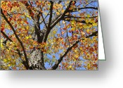 Peeping Greeting Cards - Fire Maple Greeting Card by Luke Moore