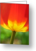 Tulip Greeting Cards - Fire Tulip Greeting Card by Juergen Roth