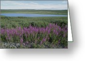 Fireweed Greeting Cards - Fireweed Blooms On The Tundra Greeting Card by Rich Reid
