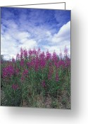 Fireweed Greeting Cards - Fireweed Epilobium Angustifolium Greeting Card by Rich Reid