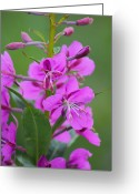 Fireweed Greeting Cards - Fireweed Greeting Card by Rick  Monyahan