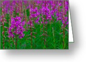 Fireweed Greeting Cards - Fireweed Greeting Card by Tony Beck