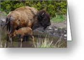 Bison Range Greeting Cards - First Born Greeting Card by Karon Melillo DeVega