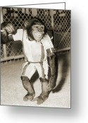 Redstone Greeting Cards - First Chimpanzee In Space Greeting Card by Nasavrs