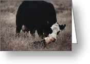 Animal Life Cycles Greeting Cards - First Order Of The Day For A Newborn Greeting Card by Farrell Grehan