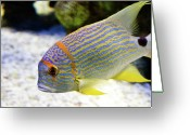 Coral Reef Greeting Cards - Fish Face Greeting Card by Photo by Kortney Thoma