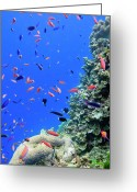 Queensland Photo Greeting Cards - Fish On Tropical Coral Reef Greeting Card by Carl Chapman