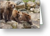 Grizzly Bears Greeting Cards - Fishing is Waiting Greeting Card by Tim Grams