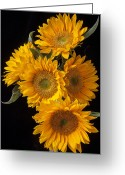 Yellows Greeting Cards - Five sunflowers Greeting Card by Garry Gay