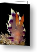 Sabah Greeting Cards - Flabellina Exoptata Nudibranch, Sabah Greeting Card by Mathieu Meur