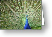 Uk Greeting Cards - Flamboyance Greeting Card by Mike Matthews Photography