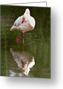Reflected Greeting Cards - Flamingo Greeting Card by Gert Lavsen